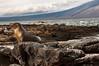 Fernandina, Espinoza Point - Sea Lion