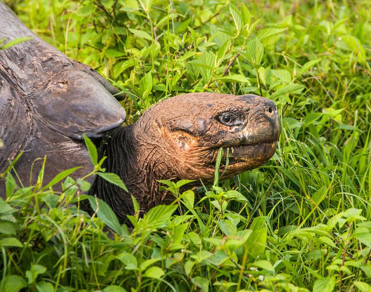Santa Cruz Highlands - Giant Tortoise