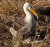 Espanola - Waved albatross on egg - chick in process of hatching