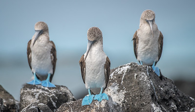 Blue-footed Boobies (Sula nebouxii)