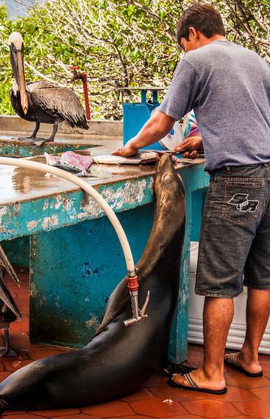 Santa Cruz & the town of Puerto Ayora - Pelican & Sea Lion at Fish Market