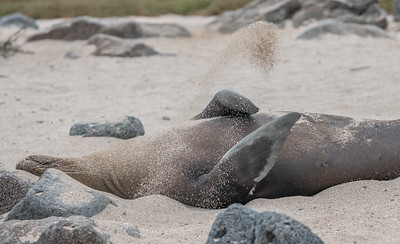 Galapagos sea lion covers itself in sand to stay warm.