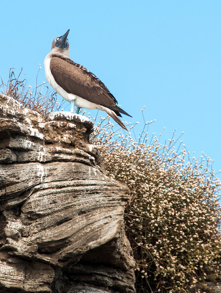 Santiago Island - Blue footed booby