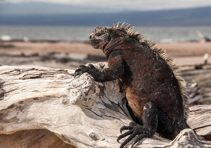 Fernandina, Espinoza Point - Marine iguanas