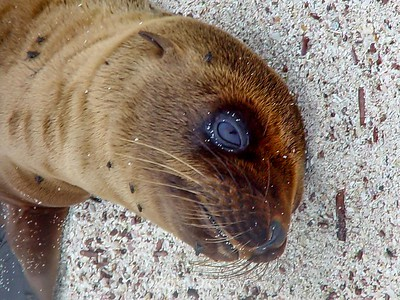 Young Pup Galapagos Sea Lion