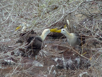 Courtship Ritual of the Waved Albatross (Galapagos Albatross)