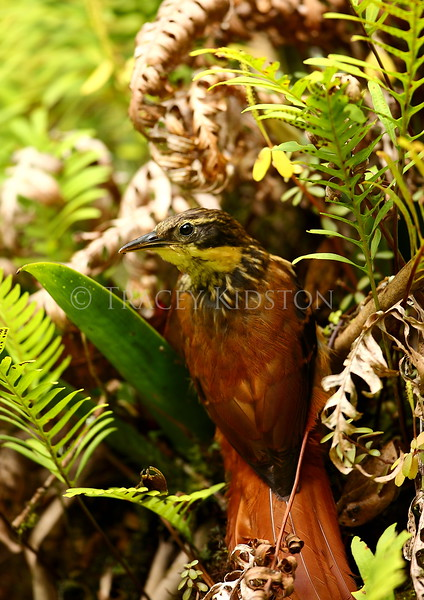 Buff-throated Woodcreeper (Xiphorhynchus guttatus)<br /> <br /> You may purchase a print or a digital download. If purchasing a digital download please look at the licensing agreement terms for personal or commercial use.