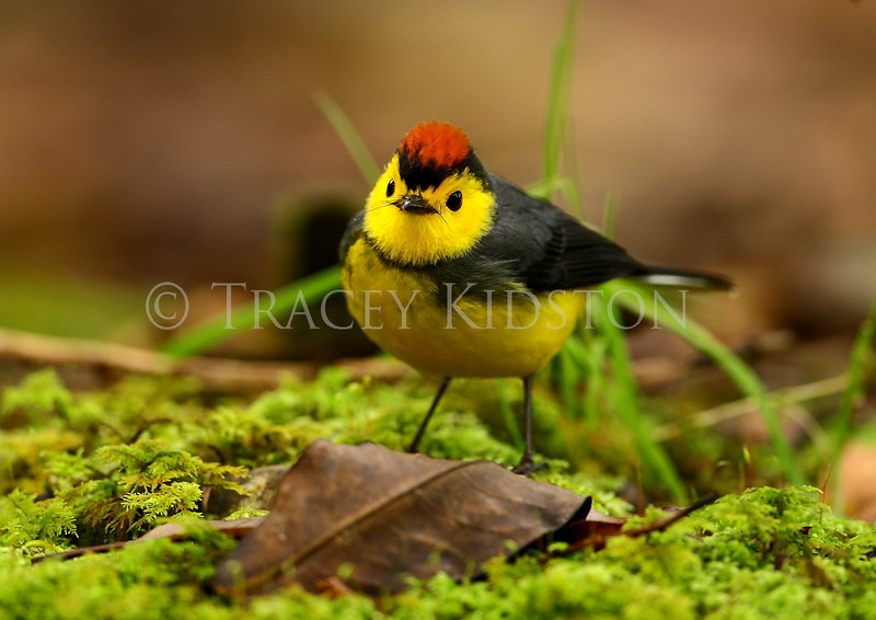 Collared Redstart (Myioborus torquatus)<br /> <br /> You may purchase a print or a digital download. If purchasing a digital download please look at the licensing agreement terms for personal or commercial use.