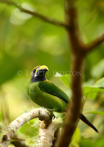 Emerald Toucanet  (Aulacorhynchus prasinus)<br /> <br /> You may purchase a print or a digital download. If purchasing a digital download please look at the licensing agreement terms for personal or commercial use.