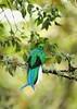 Resplendent Quetzal<br /> (Pharomachrus mocinno)
