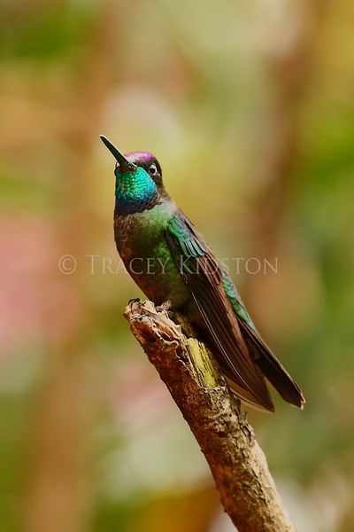 Magnificent hummingbird (Eugenes fulgens)<br /> <br /> You may purchase a print or a digital download. If purchasing a digital download please look at the licensing agreement terms for personal or commercial use.