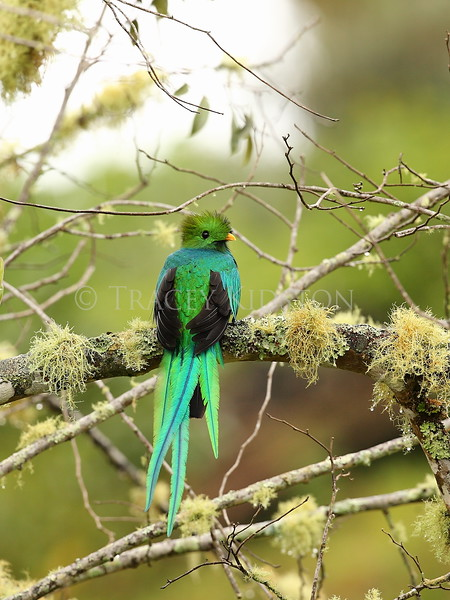 Resplendent Quetzal (Pharomachrus mocinno)<br /> <br /> You may purchase a print or a digital download. If purchasing a digital download please look at the licensing agreement terms for personal or commercial use.