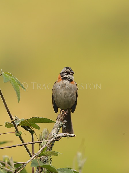 Rufus-collared Sparrow (Zonotrichia capensis)<br /> <br /> You may purchase a print or a digital download. If purchasing a digital download please look at the licensing agreement terms for personal or commercial use.
