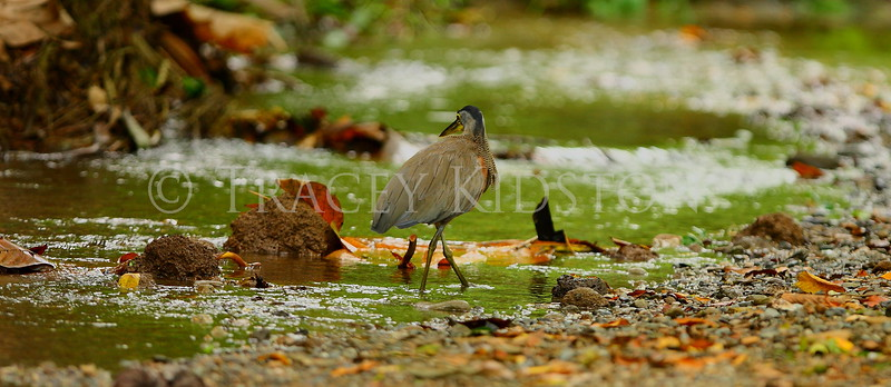 Bare-throated Tiger-Heron (Tigrisoma mexicanum)<br /> <br /> You may purchase a print or a digital download. If purchasing a digital download please look at the licensing agreement terms for personal or commercial use.