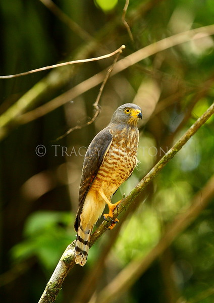 Roadside Hawk (Buteo magnirostris)<br /> <br /> You may purchase a print or a digital download. If purchasing a digital download please look at the licensing agreement terms for personal or commercial use.