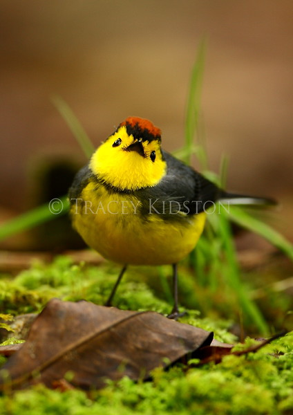 Collared Redstart<br /> (Myioborus torquatus)