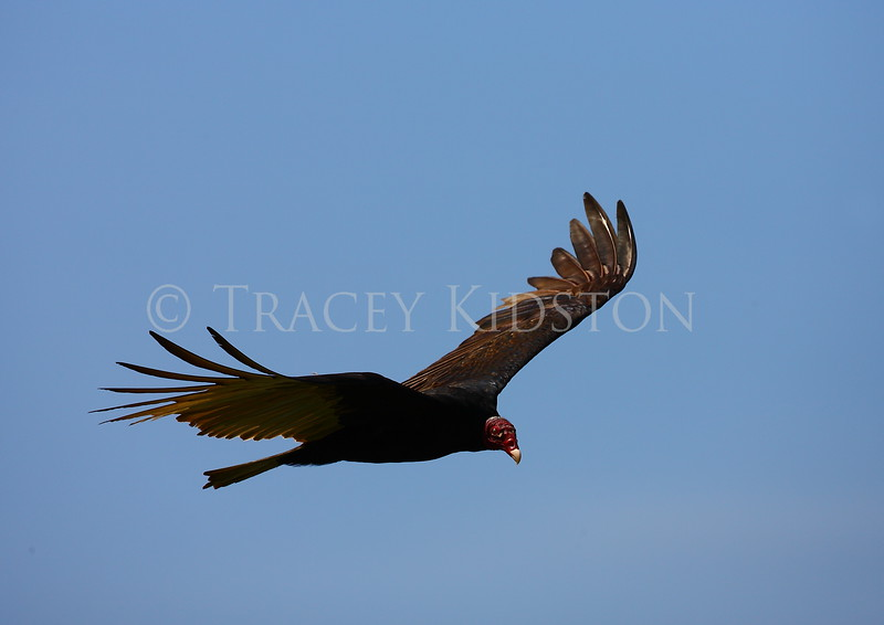 Turkey Vulture (Cathartes aura)<br /> <br /> You may purchase a print or a digital download. If purchasing a digital download please look at the licensing agreement terms for personal or commercial use.