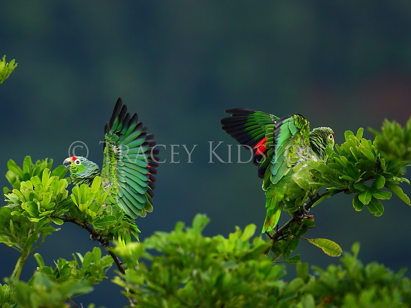 Red-lored Parrot (Amazona autumnalis)<br /> <br /> You may purchase a print or a digital download. If purchasing a digital download please look at the licensing agreement terms for personal or commercial use.