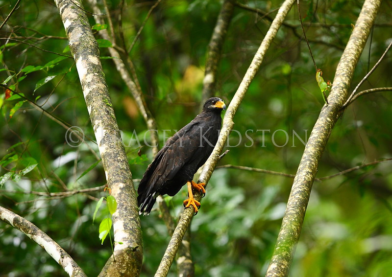 Common Black Hawk (Buteogallus anthracinus)<br /> <br /> You may purchase a print or a digital download. If purchasing a digital download please look at the licensing agreement terms for personal or commercial use.