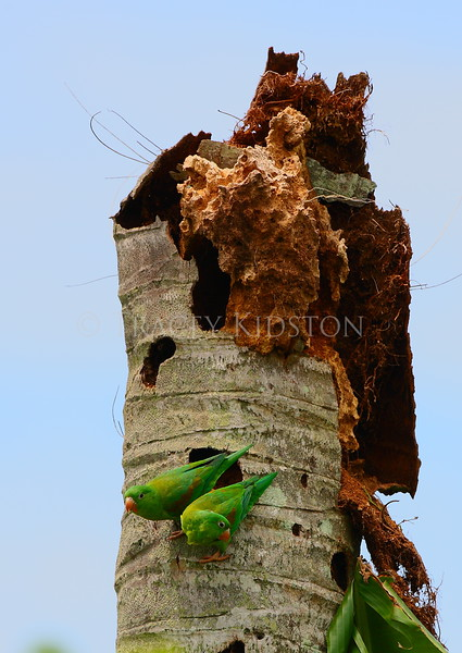 Orange-chinned Parakeet (Brotogeris jugularis)<br /> <br /> You may purchase a print or a digital download. If purchasing a digital download please look at the licensing agreement terms for personal or commercial use.