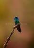 Green violet-ear hummingbird<br /> (Colibri thalassinus)