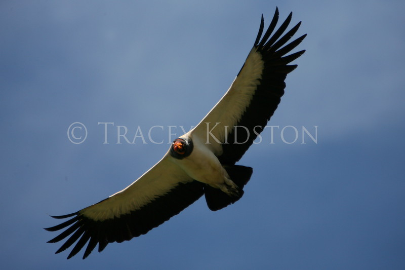 King Vulture (Sarcoramphus papa)<br /> <br /> You may purchase a print or a digital download. If purchasing a digital download please look at the licensing agreement terms for personal or commercial use.
