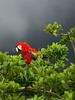Scarlet Macaw (Ara macao)<br /> <br /> You may purchase a print or a digital download. If purchasing a digital download please look at the licensing agreement terms for personal or commercial use.
