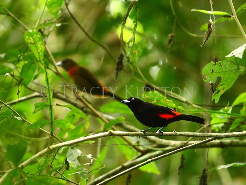Cherrie's Tanager (Ramphocelus costaricensis)<br /> <br /> You may purchase a print or a digital download. If purchasing a digital download please look at the licensing agreement terms for personal or commercial use.