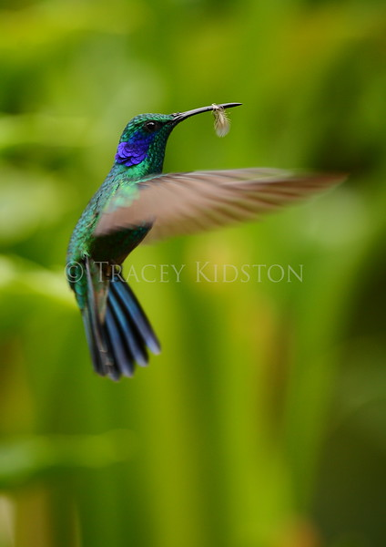 Green violet-ear hummingbird (Colibri thalassinus)<br /> <br /> You may purchase a print or a digital download. If purchasing a digital download please look at the licensing agreement terms for personal or commercial use.