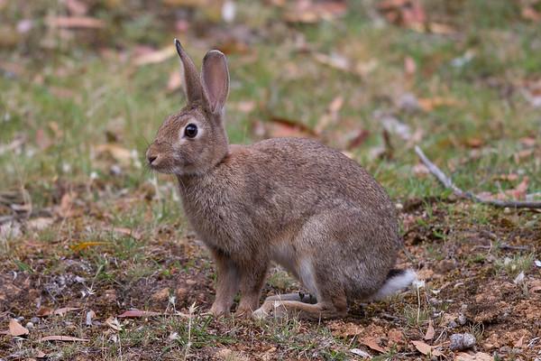 Rabbit - Clarkesdale, Victoria