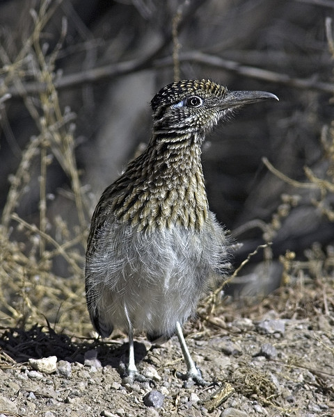 Greater Roadrunner<br /> Socorro County, New Mexico<br /> Bosque del Apache National Wildlife Refuge
