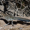 Greater Roadrunner<br /> Socorro County, New Mexcio<br /> Bosque del Apache National Wildlife Refuge
