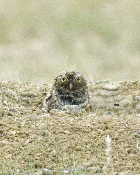 Burrowing Owl<br /> Larimer County, Colorado