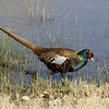 Ring-necked Pheasant<br /> Socorro County, New Mexcio<br /> Bosque del Apache National Wildlife Refuge