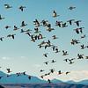 Snow Geese taking flight at Freezeout Lake