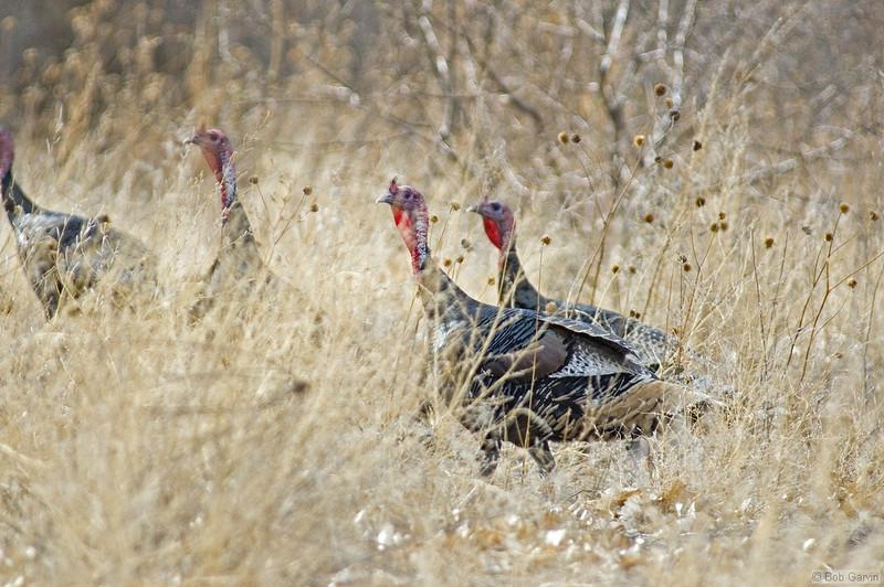 Turkey, Wild<br /> Socorro County, New Mexcio<br /> Bosque del Apache National Wildlife Refuge