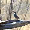 Gambel's Quail <br /> Socorro County, New Mexcio<br /> Bosque del Apache National Wildlife Refuge