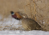 Ring-necked Pheasants, female and male
