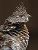 Ruffed Grouse <br /> Bonasa umbellus