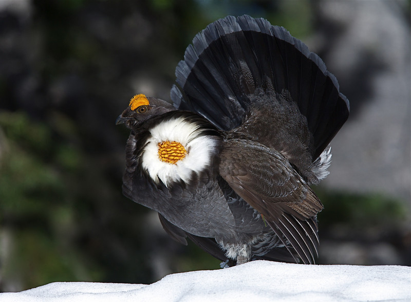 Sooty phase Blue Grouse.   The yellow cheek sac and the broad silver band across the tail tip distinguished the Sooty phase from the Dusky phase.