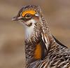 Greater Prairie Chicken<br /> Tympanuchus cupido