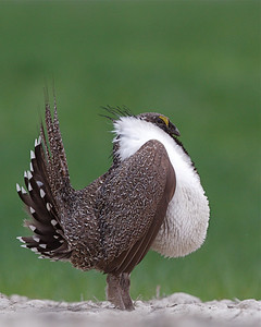 Greater Sage-grouse Centrocercus urophasianus