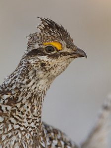 Sharp-tailed Grouse Tympanuchus phasianellus