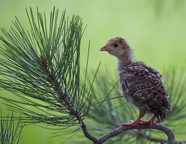 Wild Turkey poult