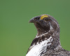 Greater Sage-grouse<br /> Centrocercus urophasianus