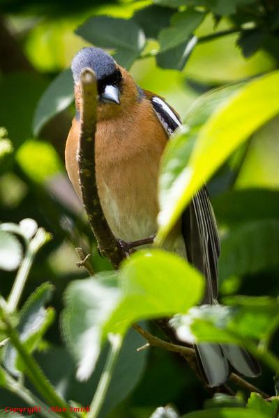 Finch - Chaffinch