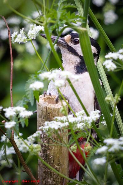 Woodpecker - Our very shy woodpecker
