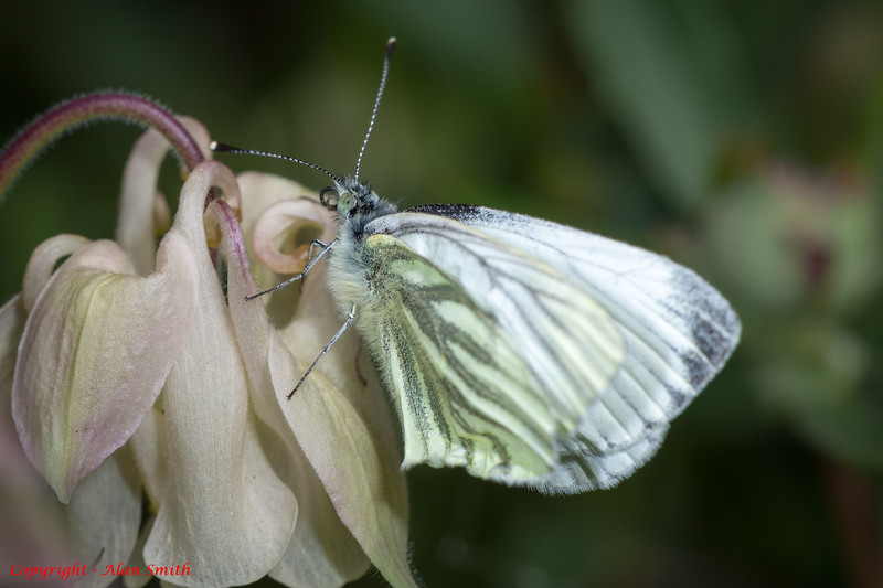 Butterfly - Cabbage White