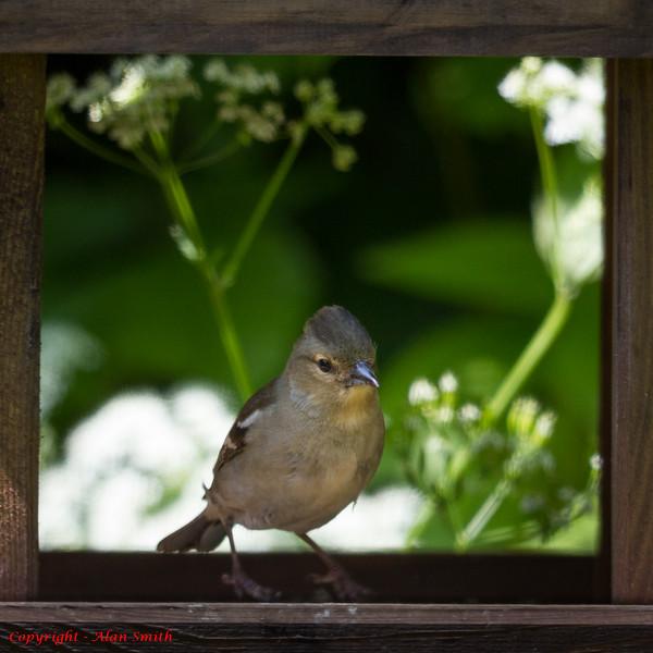 Finch - Chaffinch (Female)
