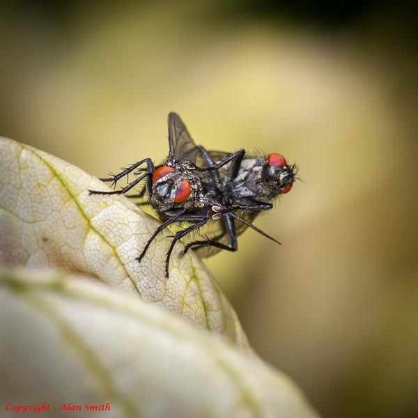 Flies having sex I guess